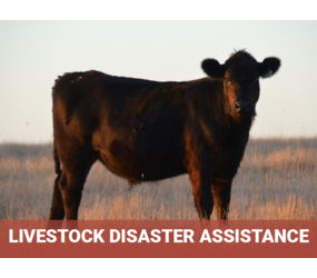 "Cow in field with title ""Livestock Disaster Assistance"""
